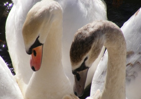 adult-and-juvenile-swans