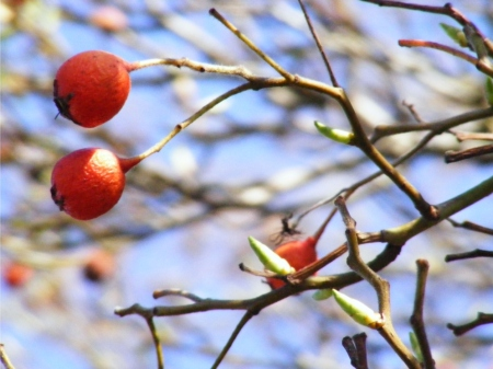 Winterberries in spring 2012-resized