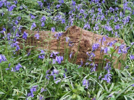 Pretty bluebells